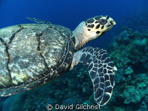 Another view of the turtle, Roatan, Honduras